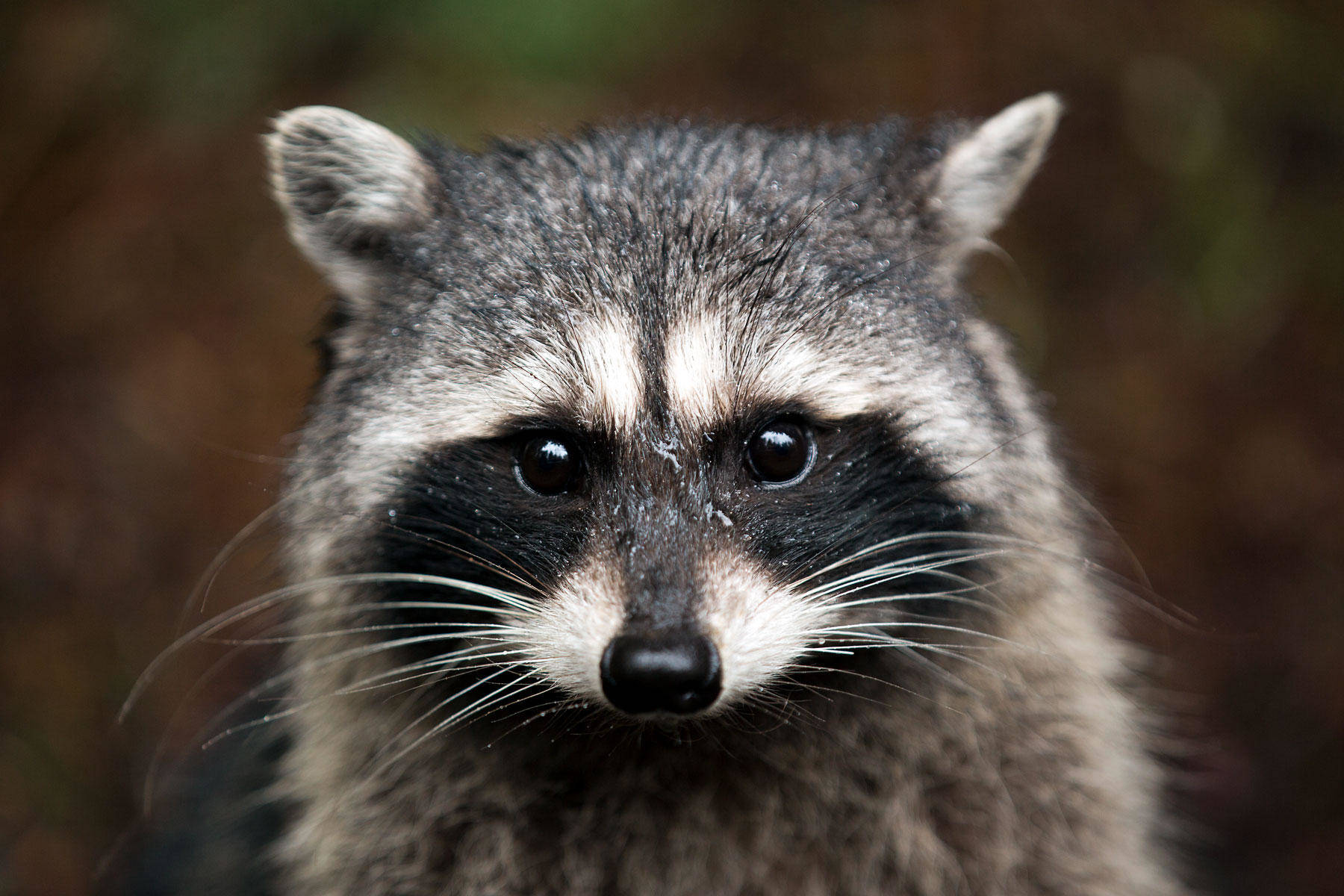 How To Keep Raccoons Out